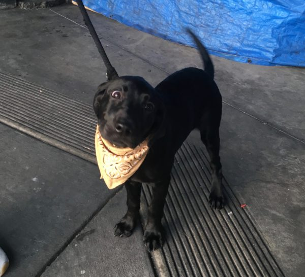 Black Labrador Retriever Puppy With Yellow Bandana