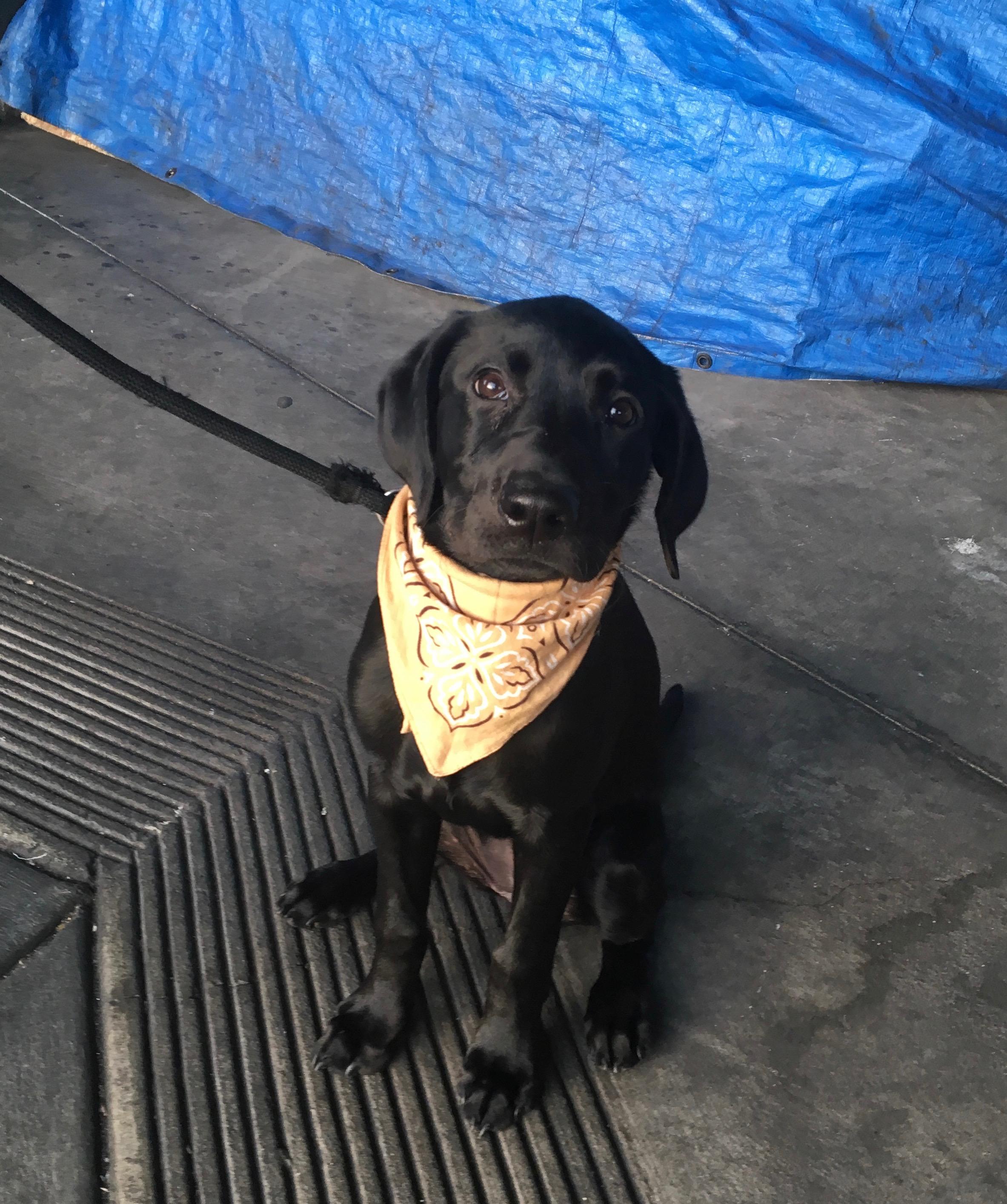 Black Labrador Retriever Puppy With Yellow Bandana