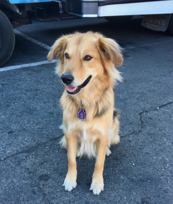 Fluffy Golden Retriever German Shepherd Border Collie Mix Sitting