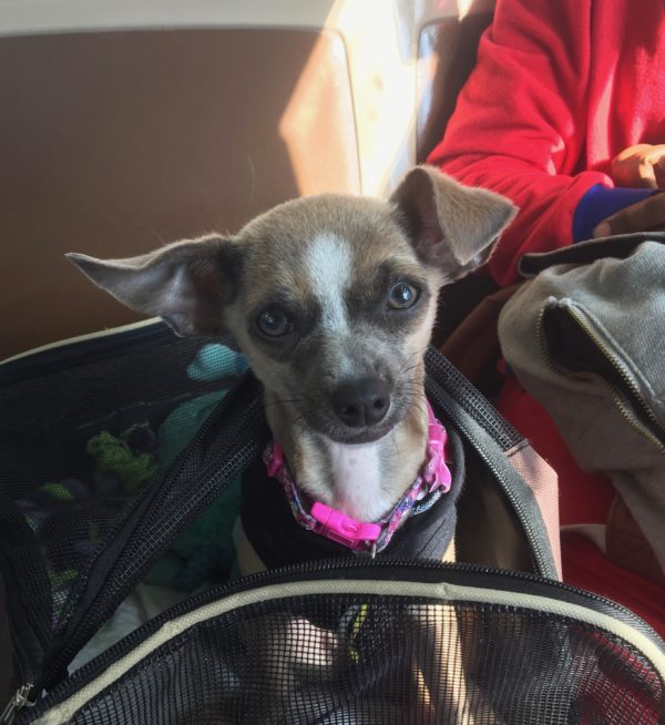 Chihuahua Mix Puppy Sitting In A Dog Carrier On A Bus