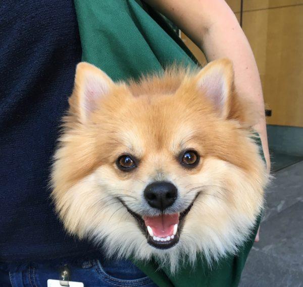 Pomeranian Head Sticking Out Of Shoulder Bag