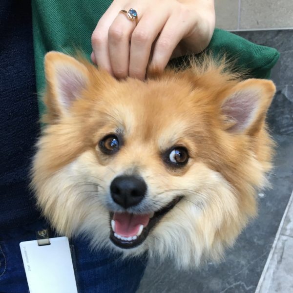Pomeranian Head Sticking Out Of Shoulder Bag