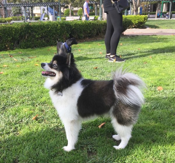 pomeranian siberian husky mix the dogs of san francisco page 2 of 266 a blog about 9192