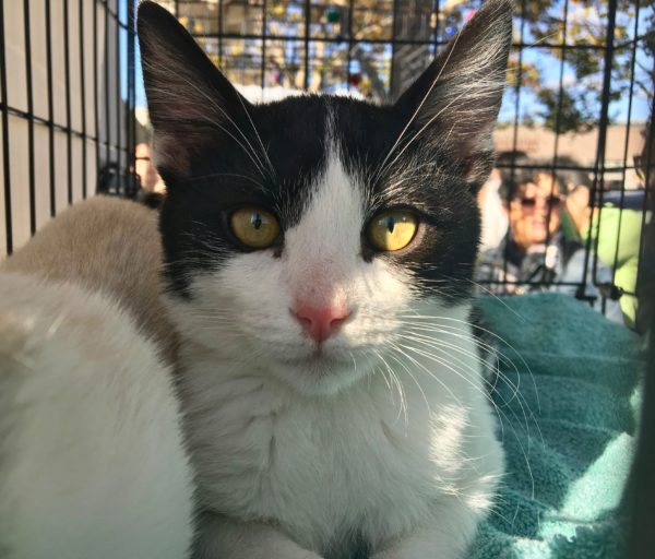 Black And White Tuxedo Kitten With Gold Eyes