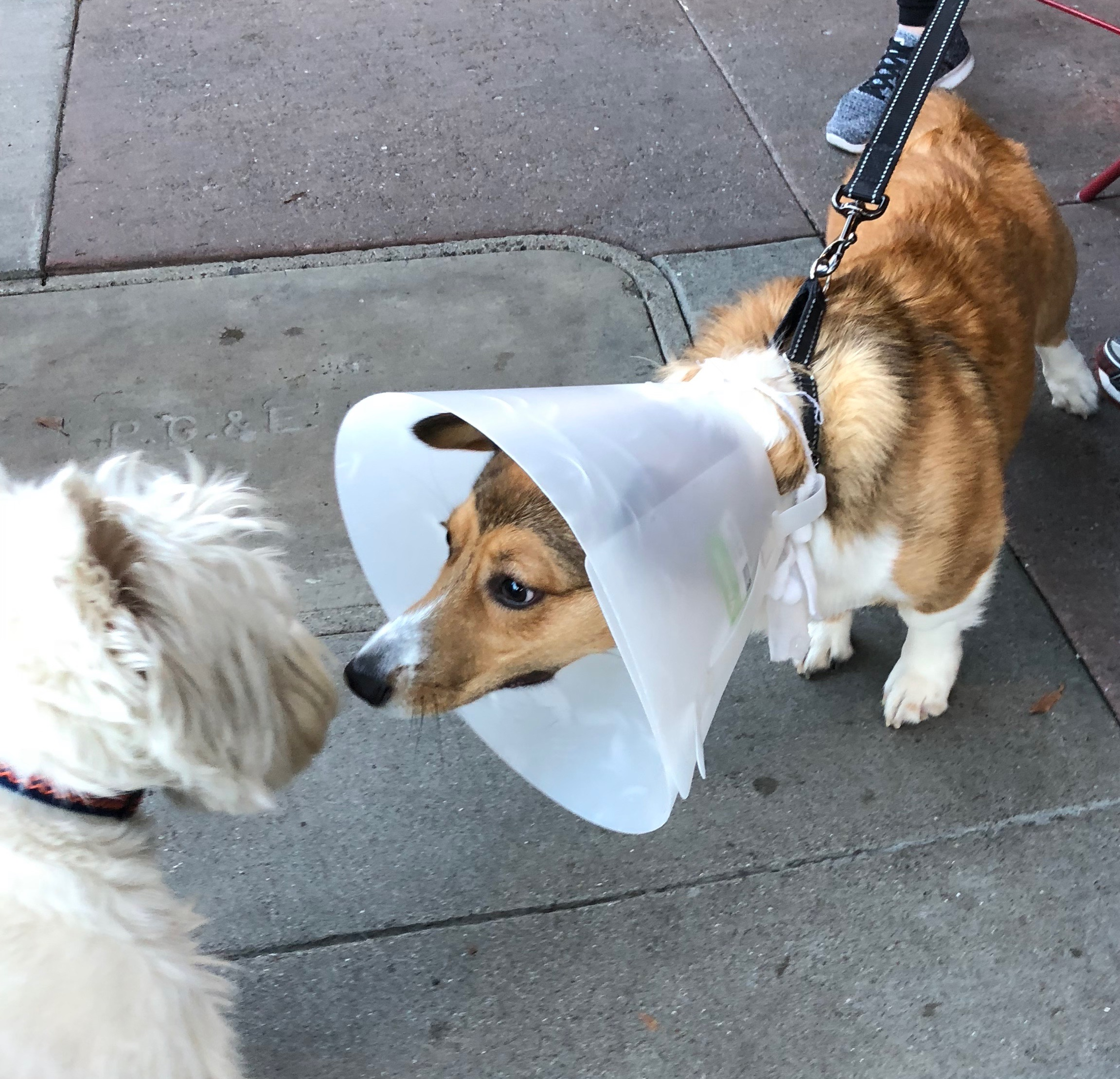 Corgi With Cone Of Shame Sniffing A West Highland White Terrier