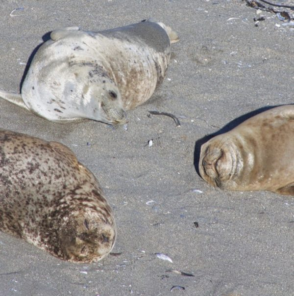 Three Smiling Seals On A Beach