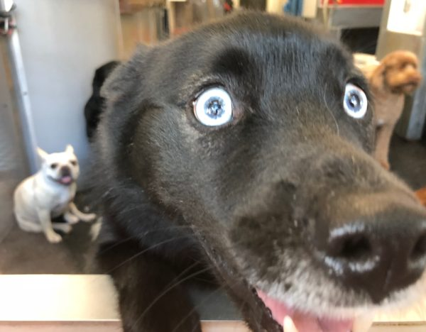 Black Labrador Retriever Mix With Blue Eyes