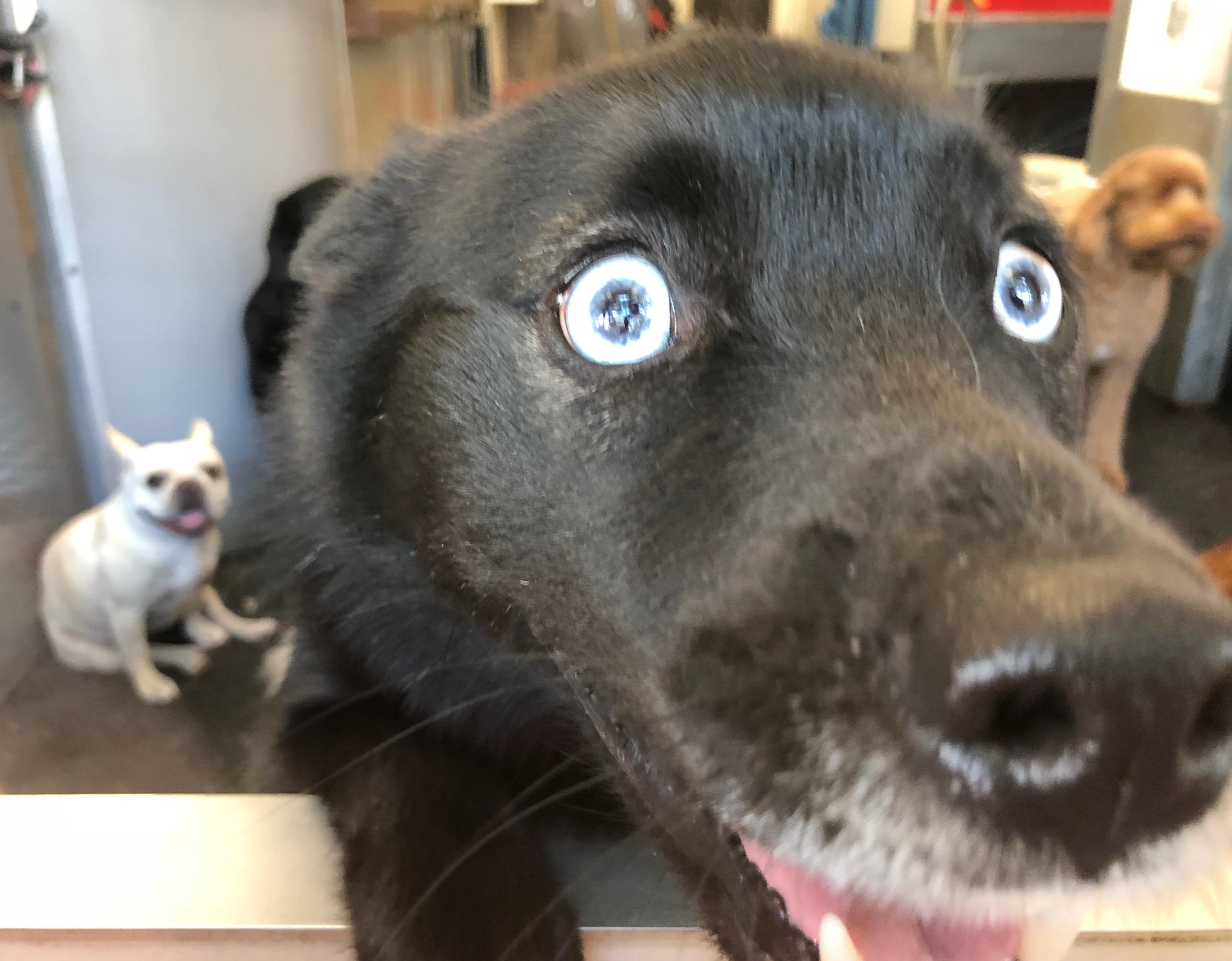 Black Labrador Retriever Mix With Blue Eyes