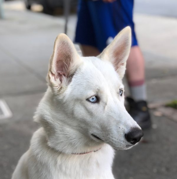 White Shepherd Siberian Husky Mix Looking Dignified