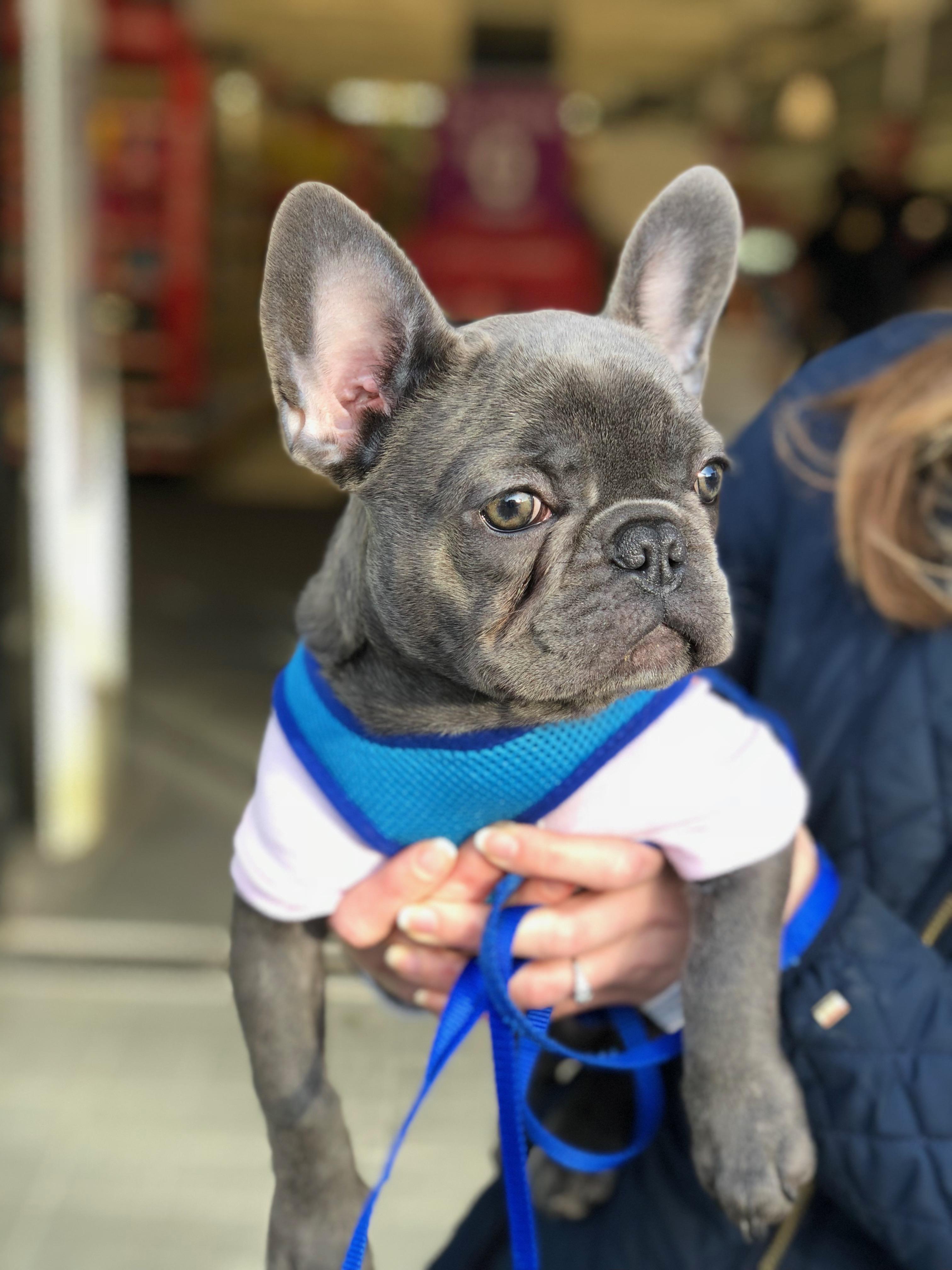 Woman Holding Blue French Bulldog Puppy