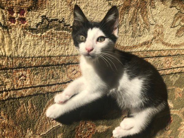 Little Black And White Kitten