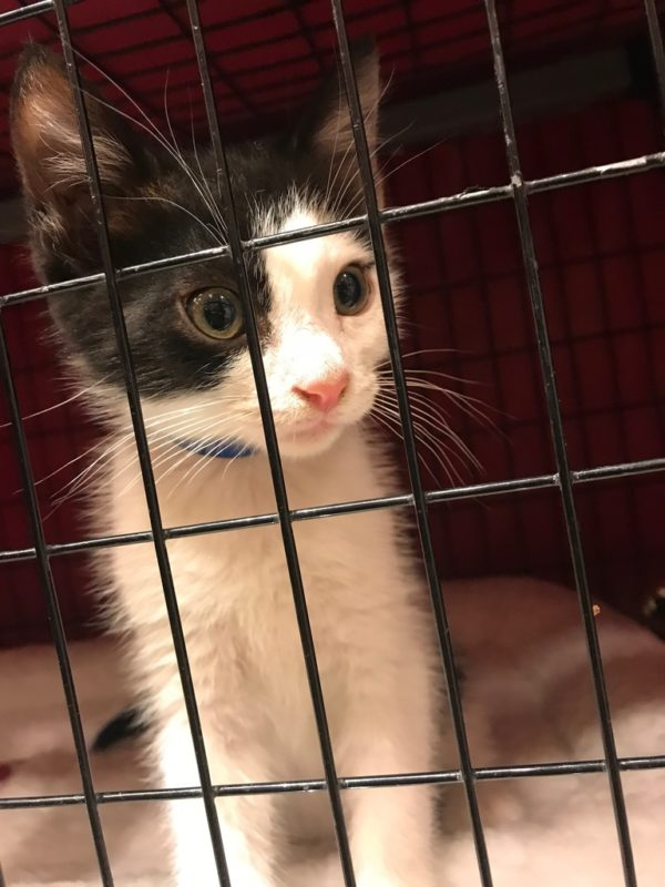 Grey And White Kitty Behind Bars
