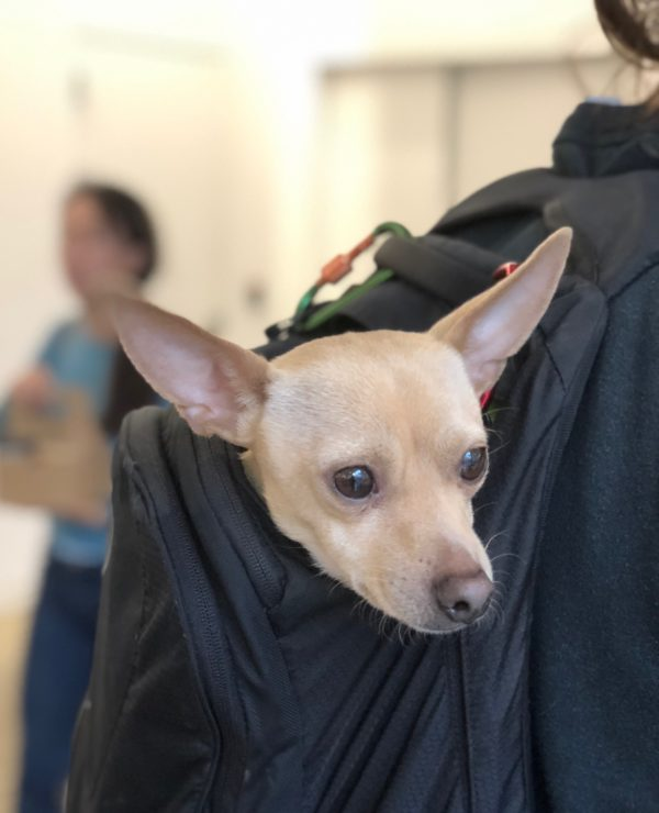 Terrier Chihuahua Mix Poking His Head Out Of A Backpack