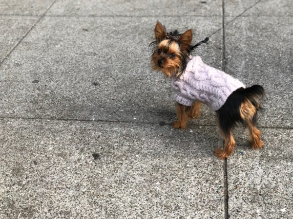 Little Bitty Yorkie Puppy In A Purple Sweater With A Hair Bow