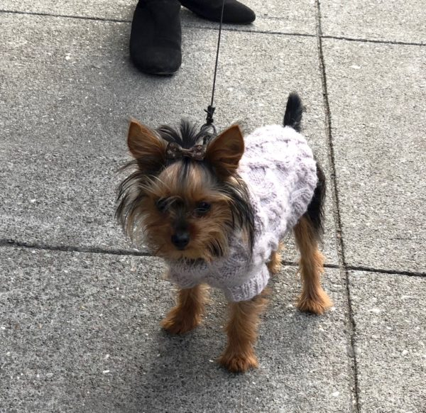 Little Bitty Yorkie Puppy In A Purple Sweater