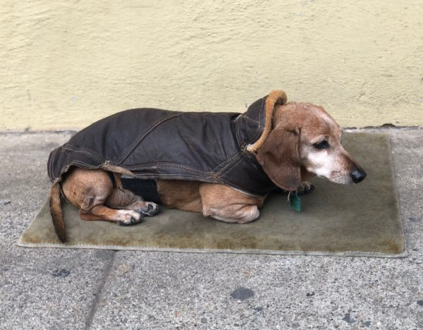Old Dachshund In Leather Bomber Jacket Lying On Mat