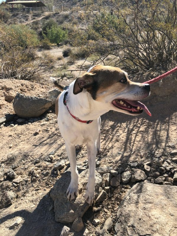 Houd Mix Standing In Sonoran Desert