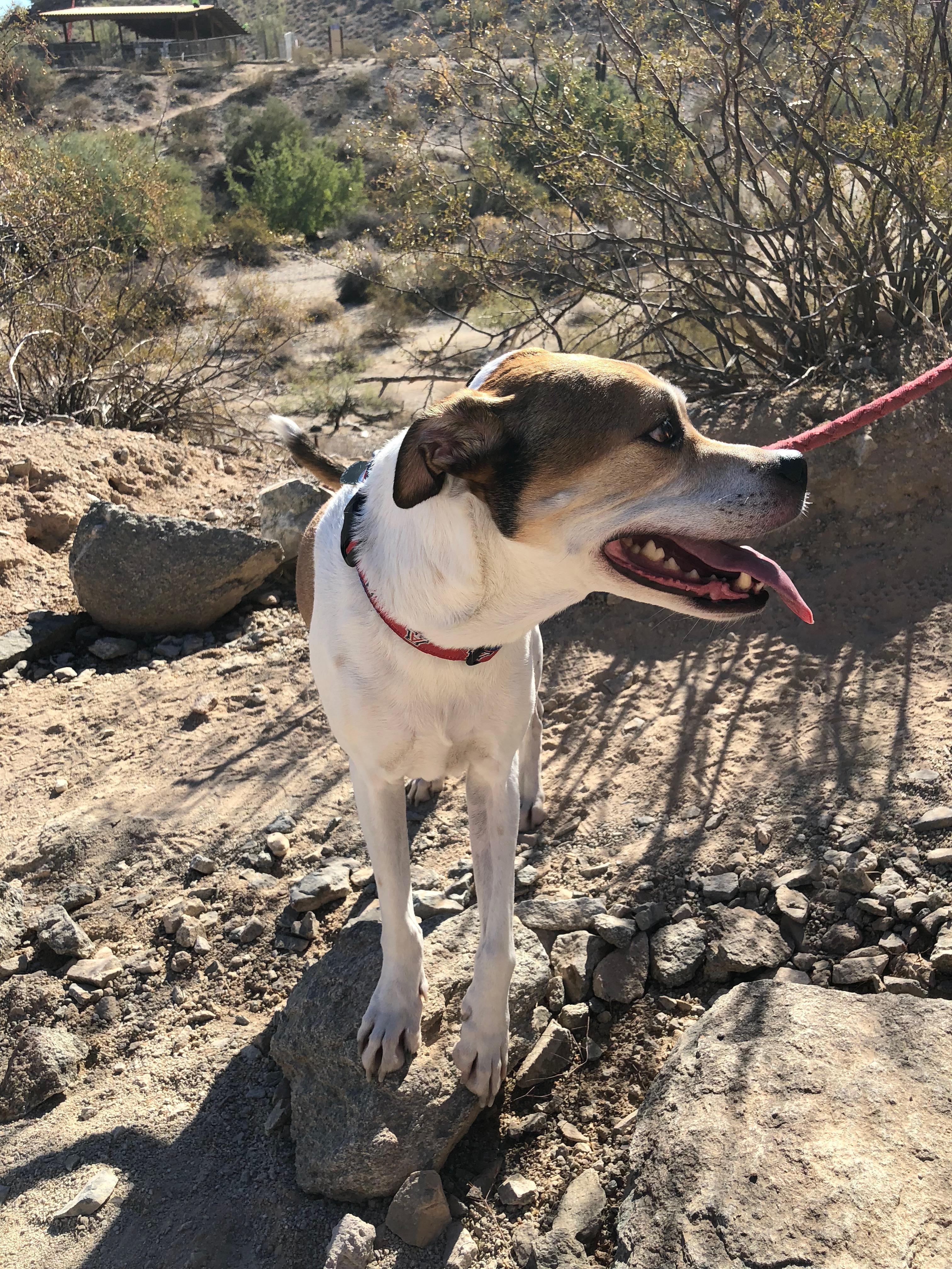 Houd Mix Standing In Sonoran Desert