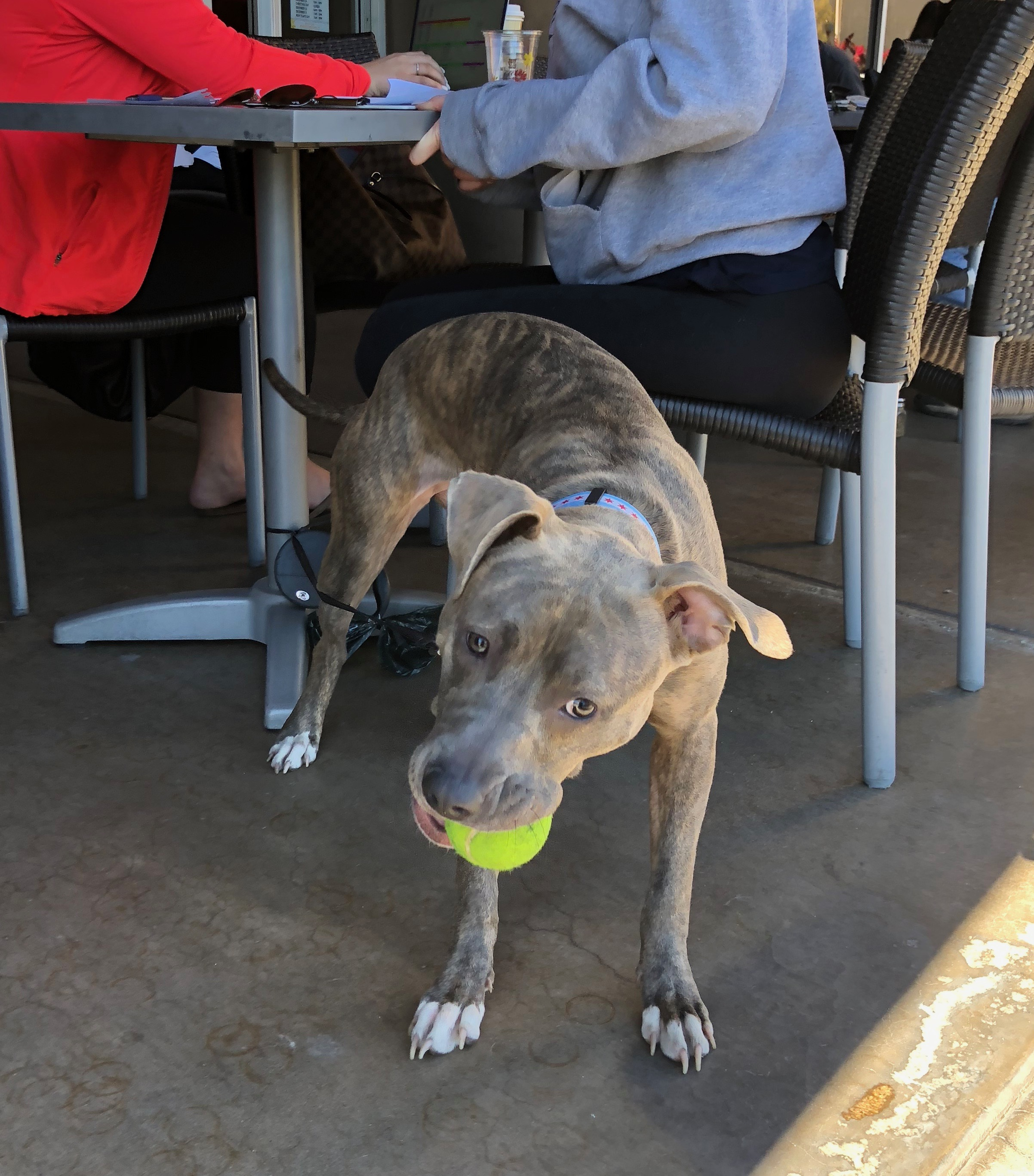 Brindled Pit Bull Puppy Playing With A Tennis Ball
