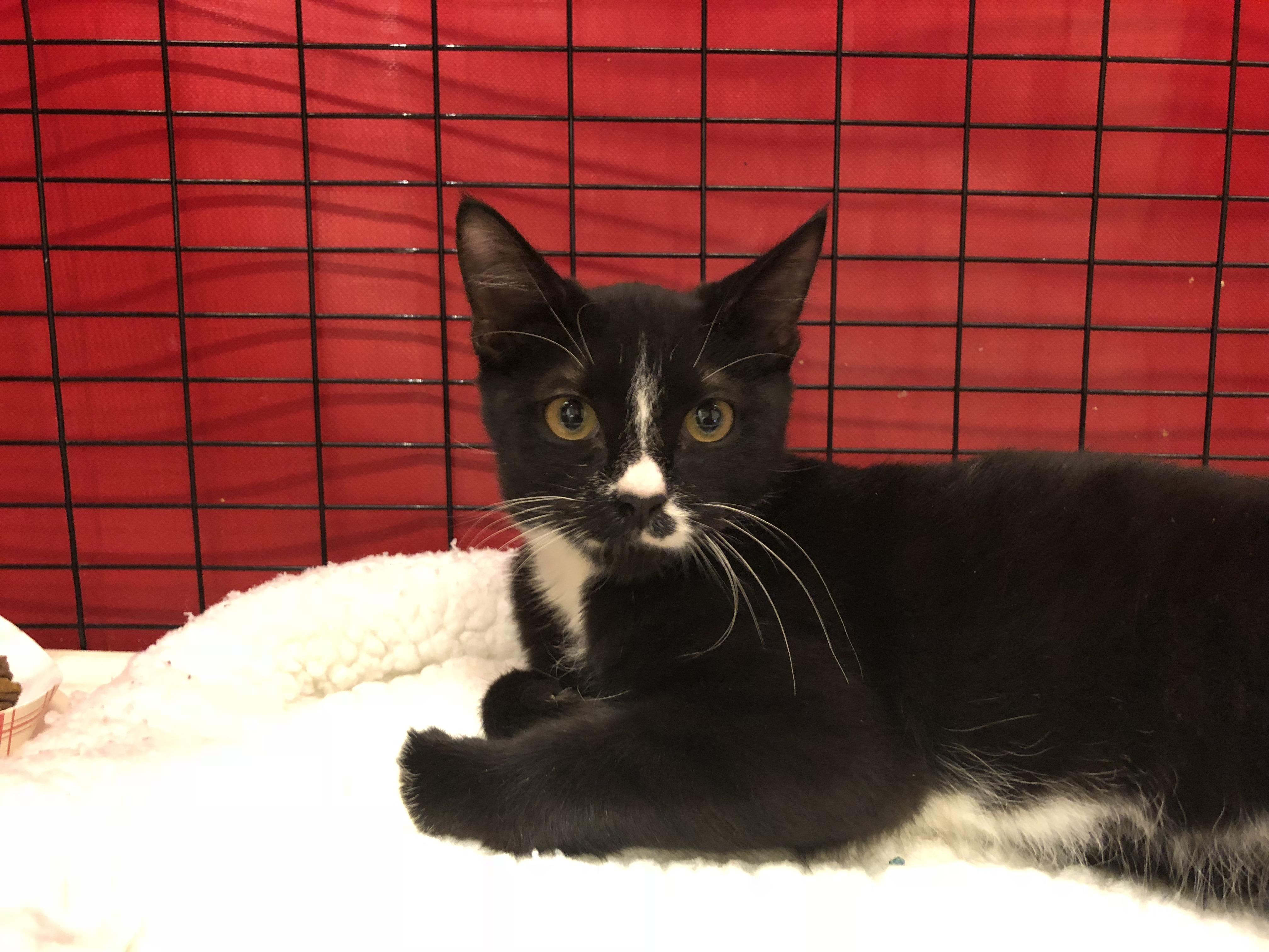 Tuxedo kitten With Asymmetrical Markings