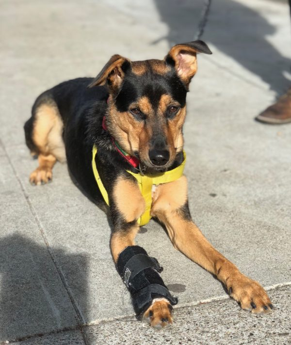German Shepherd Mix Dog With Half Flopped Ears And Bandaged Paw