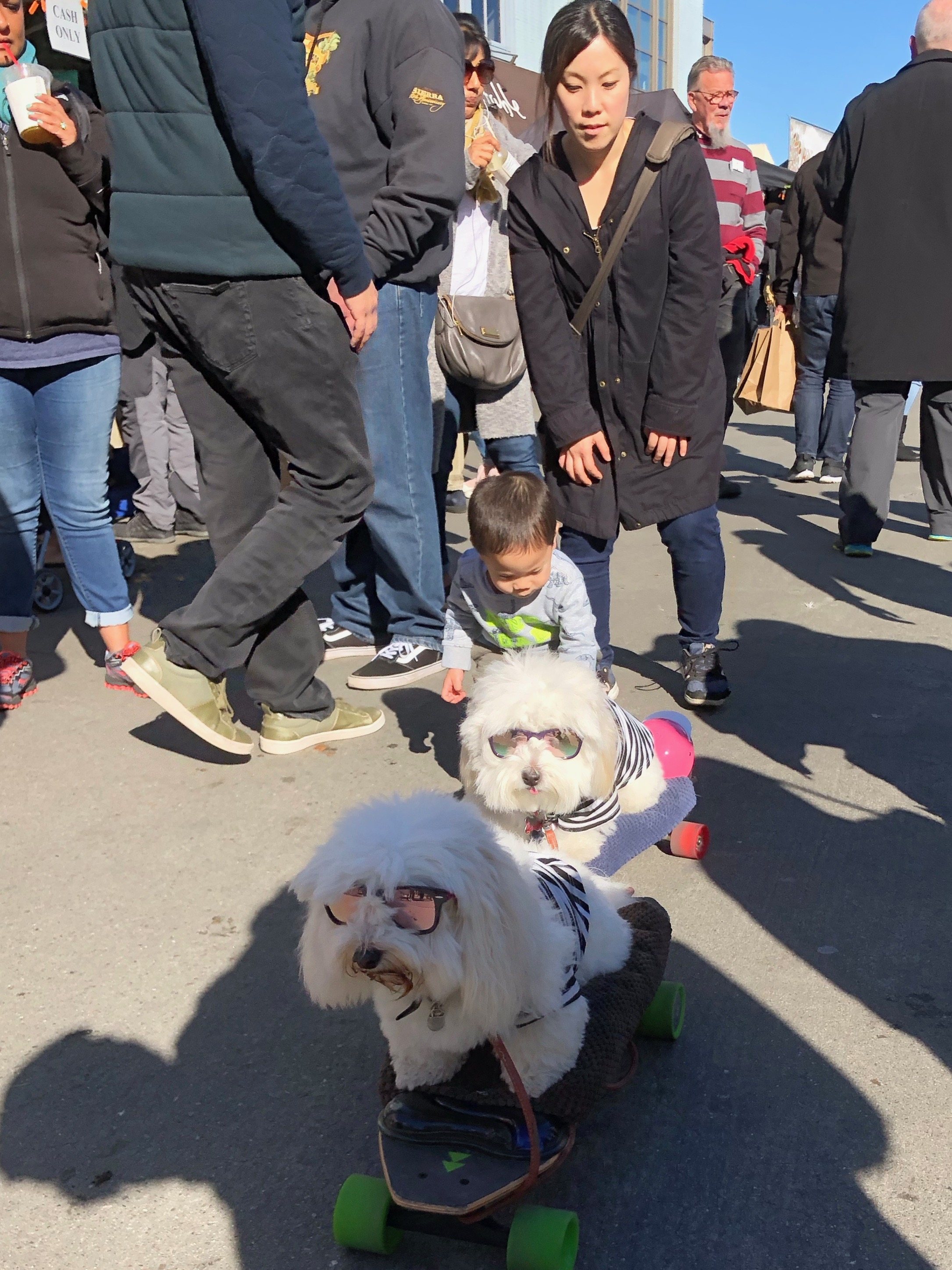 Two Coton De Tulear Dogs Sitting On Skateboards
