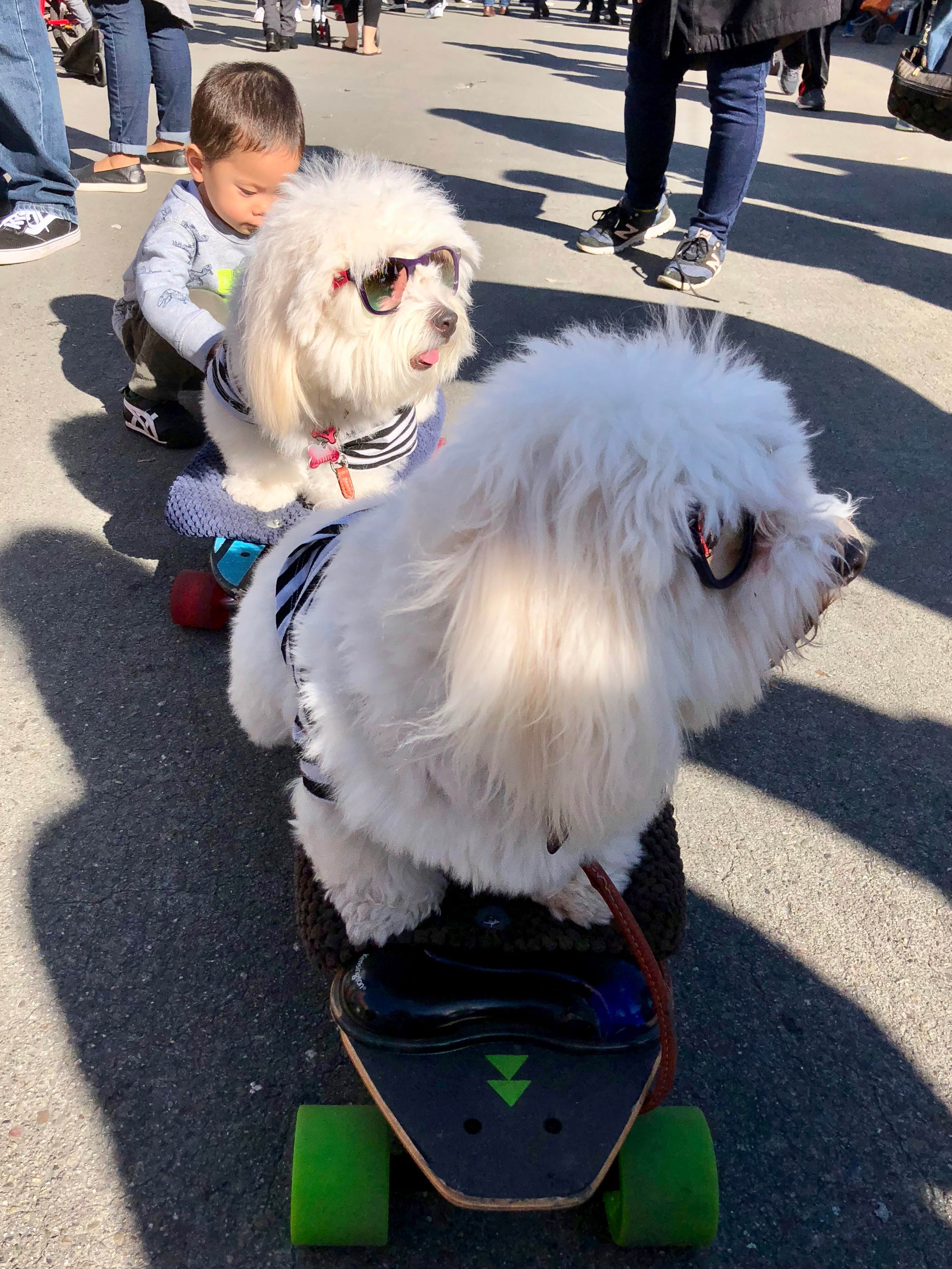 Two Coton De Tulear Dogs Sitting On SkateboardsTwo Coton De Tulear Dogs Sitting On Skateboards