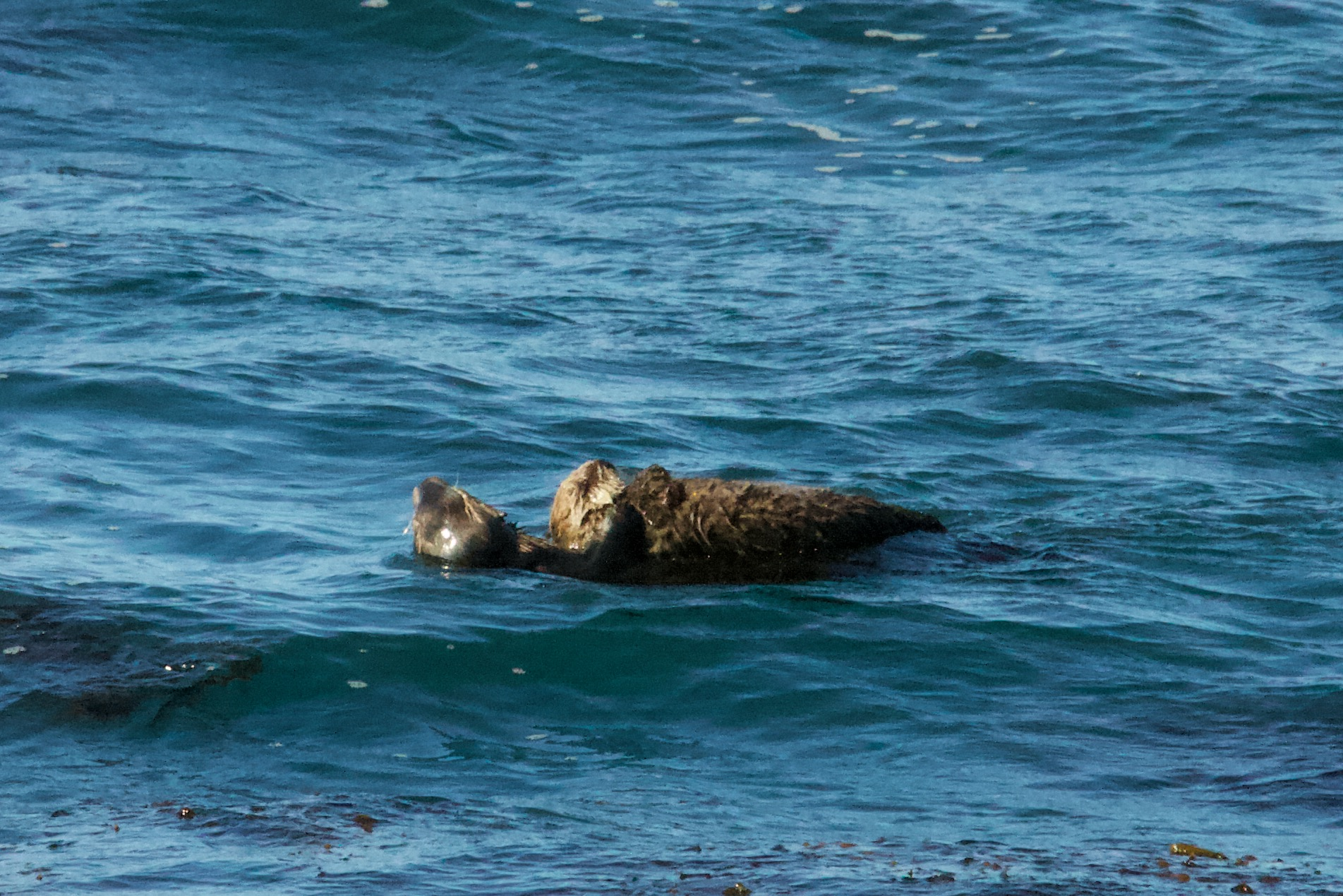 Mother Sea Otter Holding Her Pup