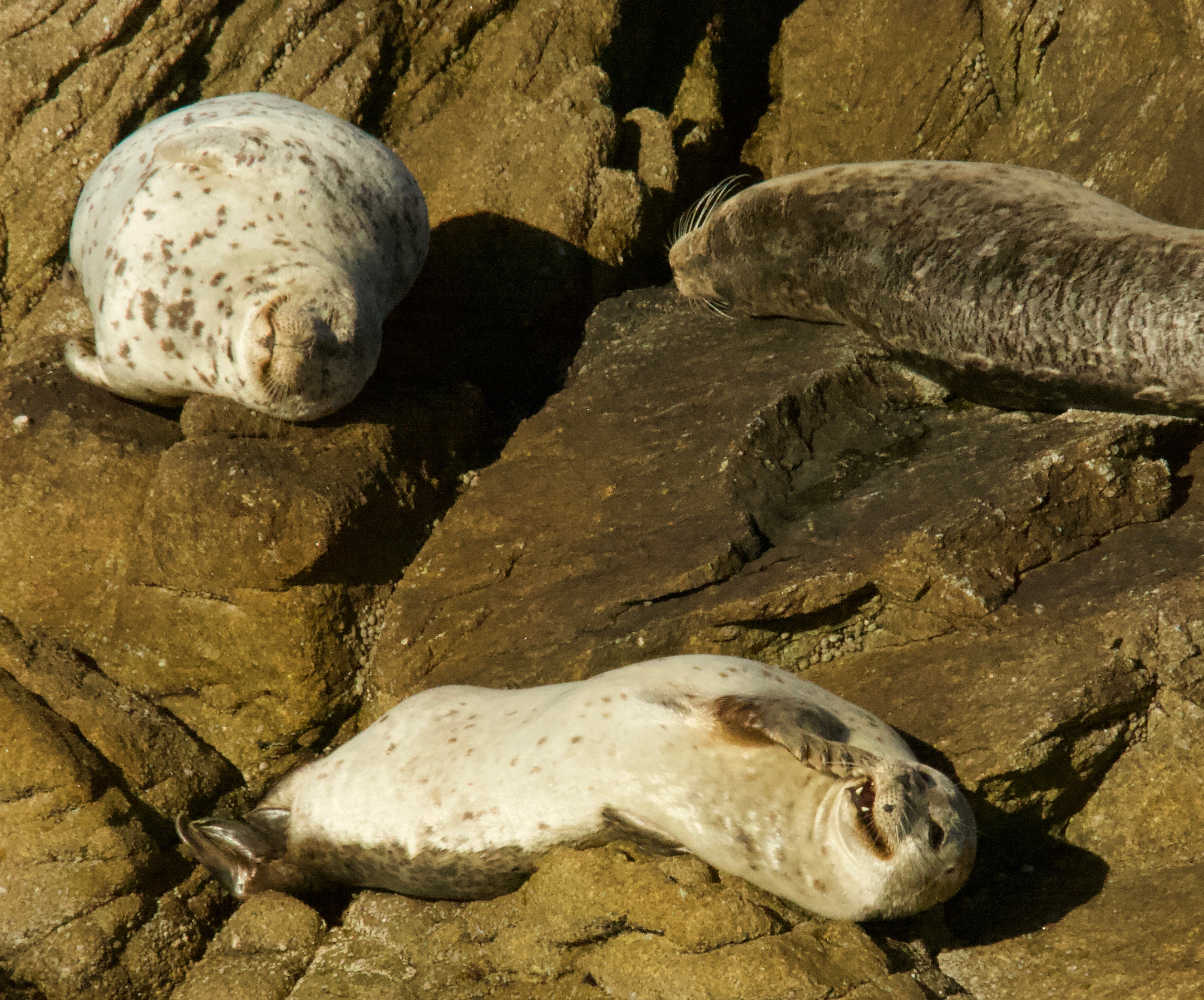 Three Harbor Seals On A Rock, One Grinning And Covering Her Mouth With Her Flipper