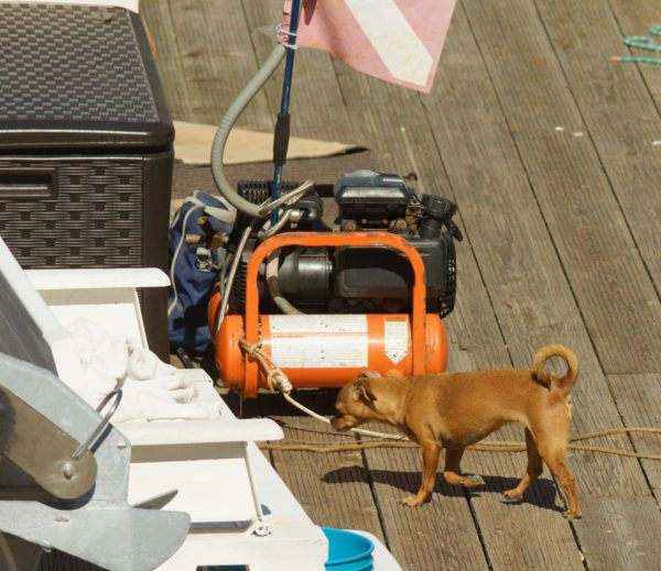 Tan Chihuahua Mix On Dock