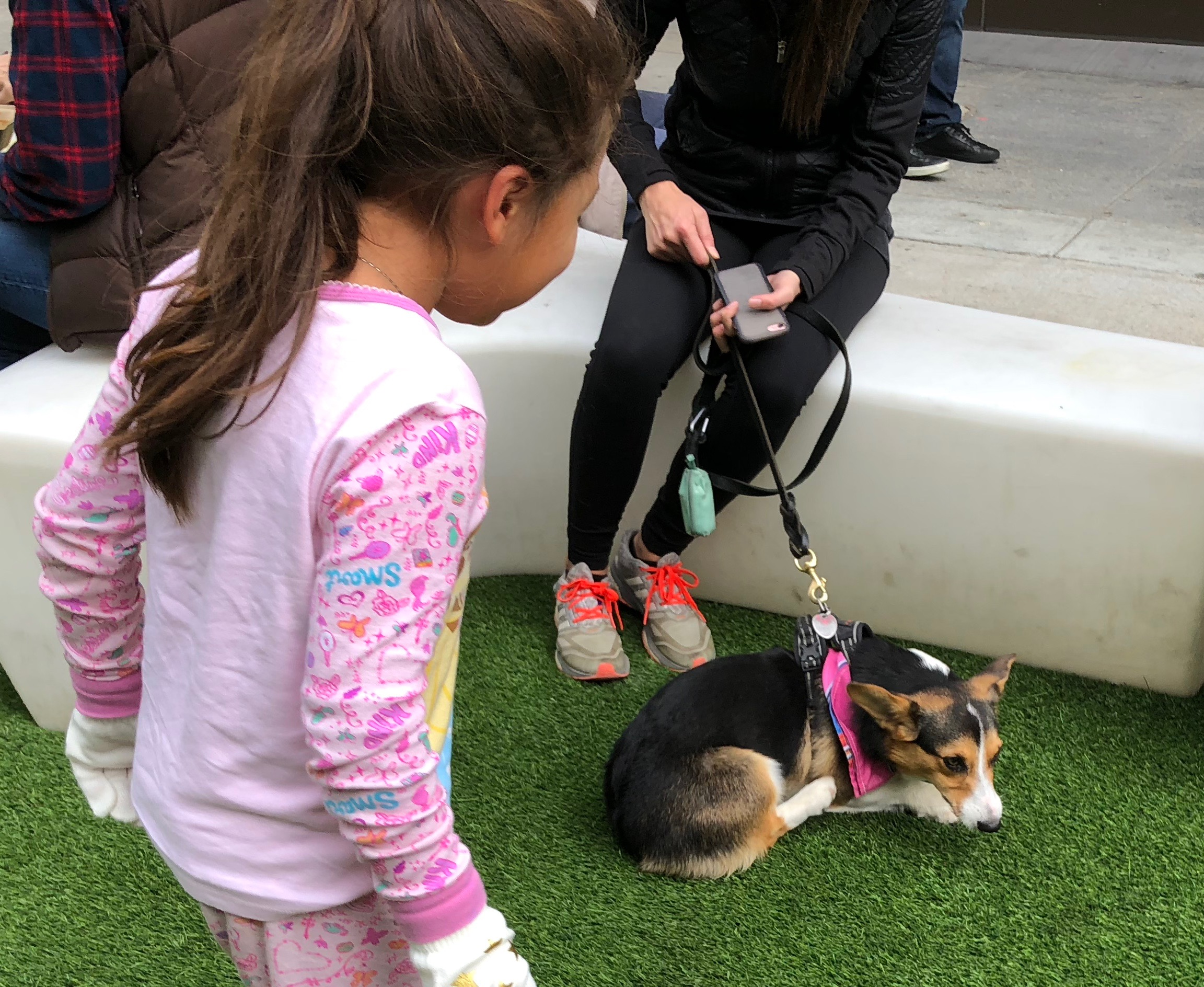 Child Looking At Cute Tricolor Pembroke Welsh Corgi