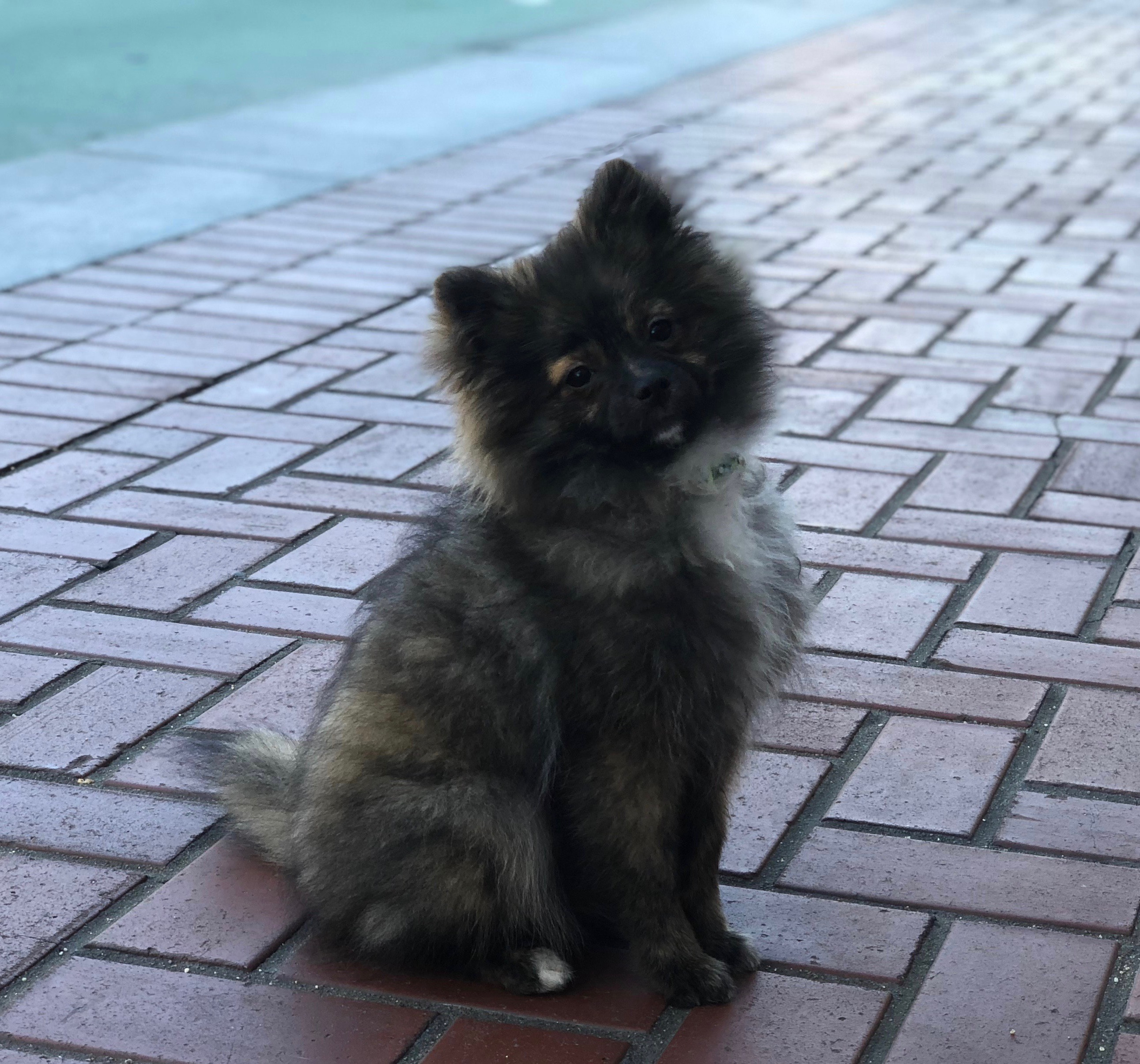 Adorable Fluffy Mottled Pomeranian Puppy Cocking His Head To One Side