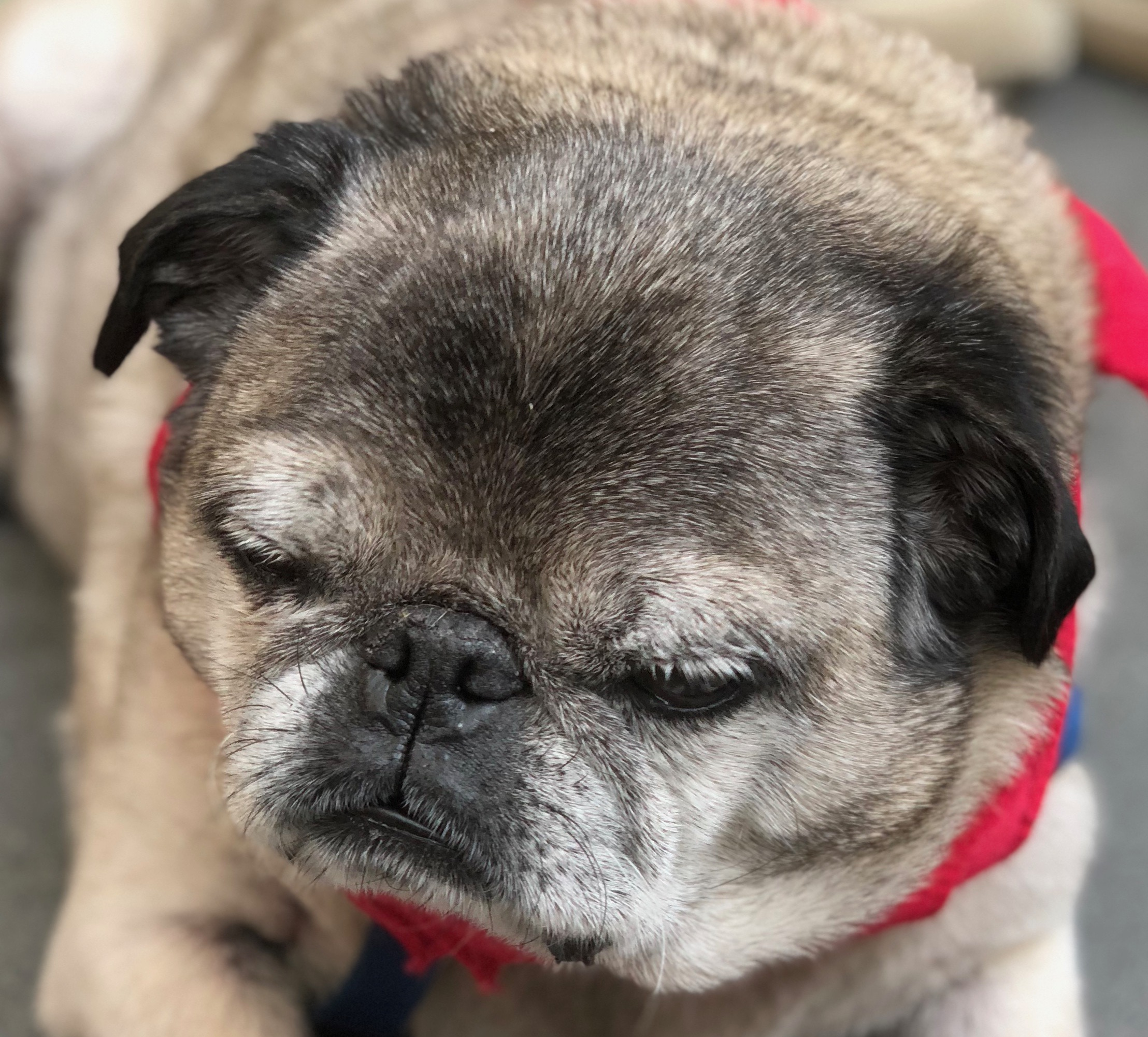Tired-Looking Old Pug With Red Bandana