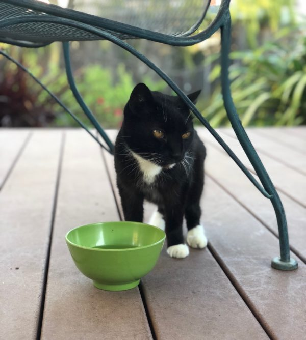 Tuxedo Cat At Green Water Bowl