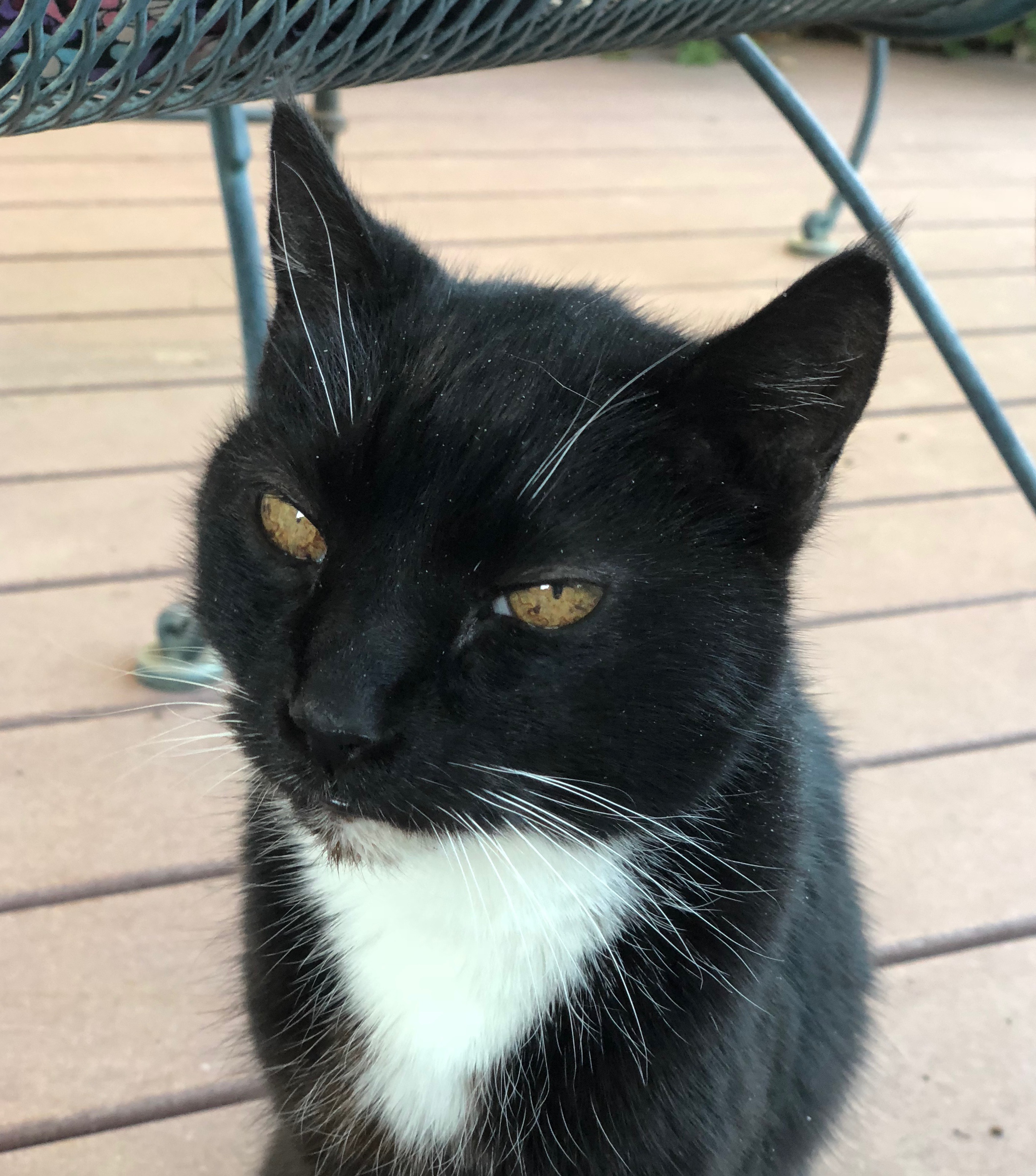 Tuxedo Kitty With Gold Eyes
