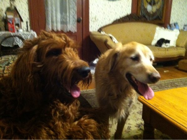 Irish Setter Poodle Mixed Breed and Golden Retriever