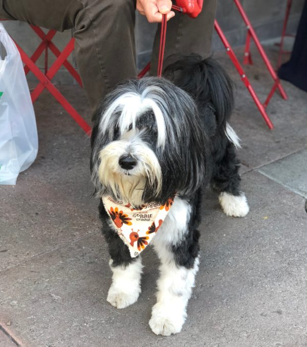Tibetan Terrier In Adorable Bandana