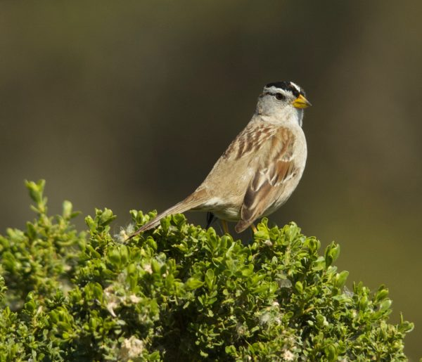 Brown Bird With Black Cap Sitting On Bush