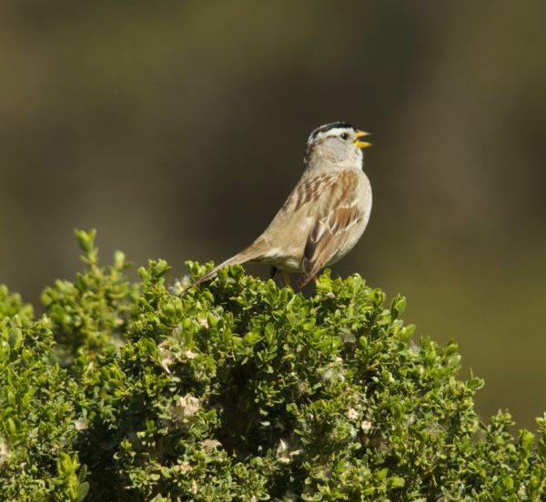 Brown Bird With Black Cap Singing On Bush
