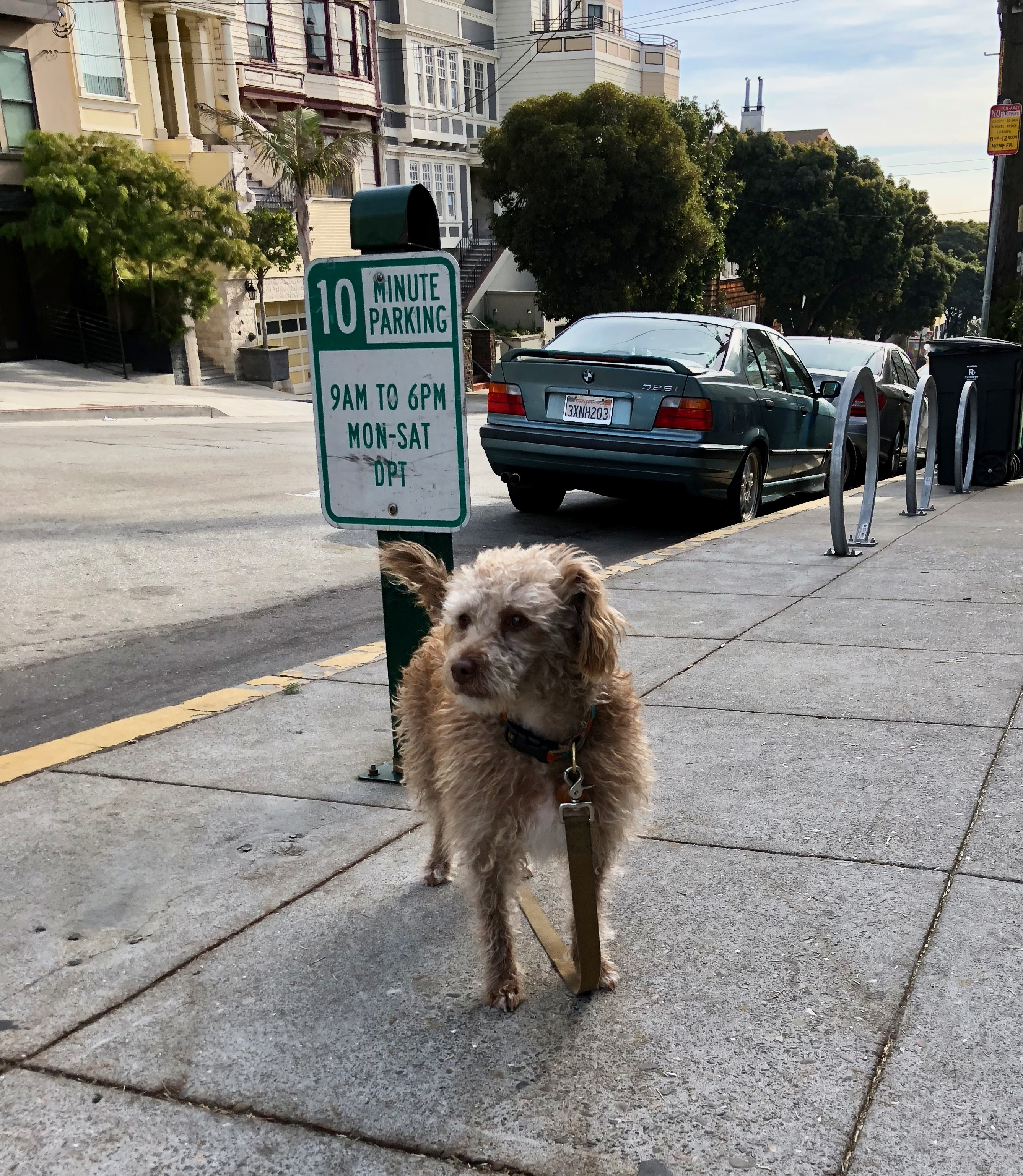 Terrier Poodle Mix Tied To No Parking Sign