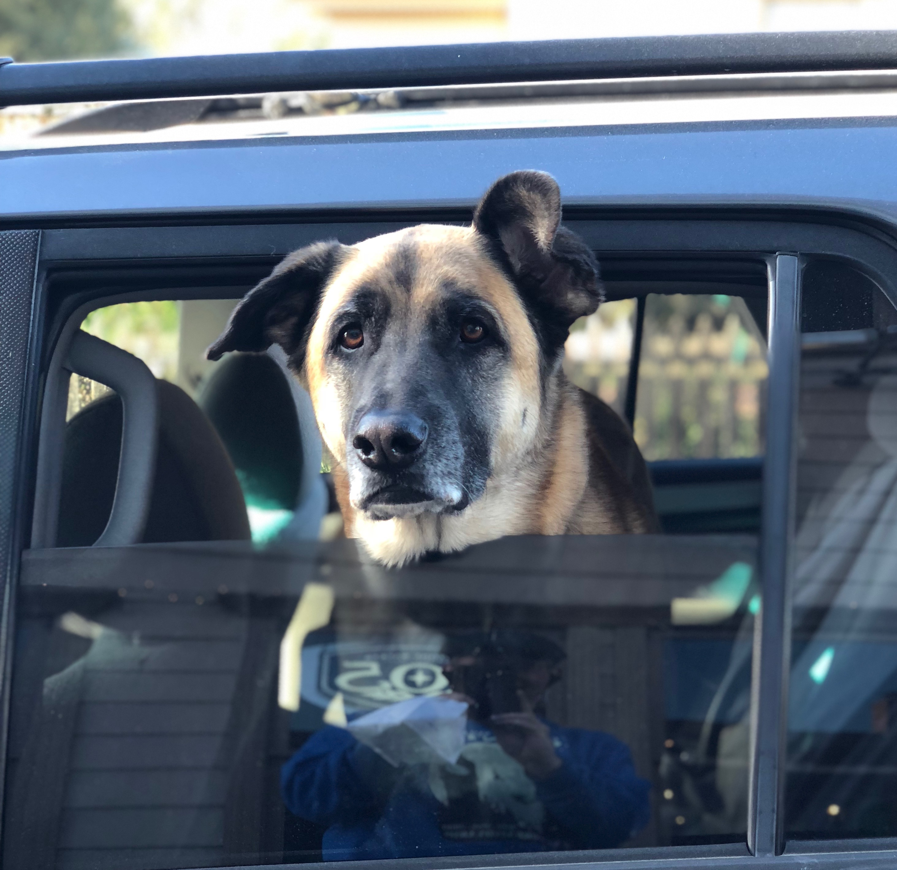 German Shepherd Mix With Half Floppy Ears Sticking His Head Out Of A Car Window
