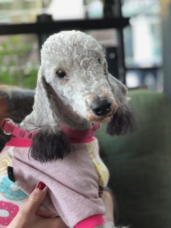 Bedlington Terrier In Pajamas With Dyed Fluffy Pom-Pom Ears