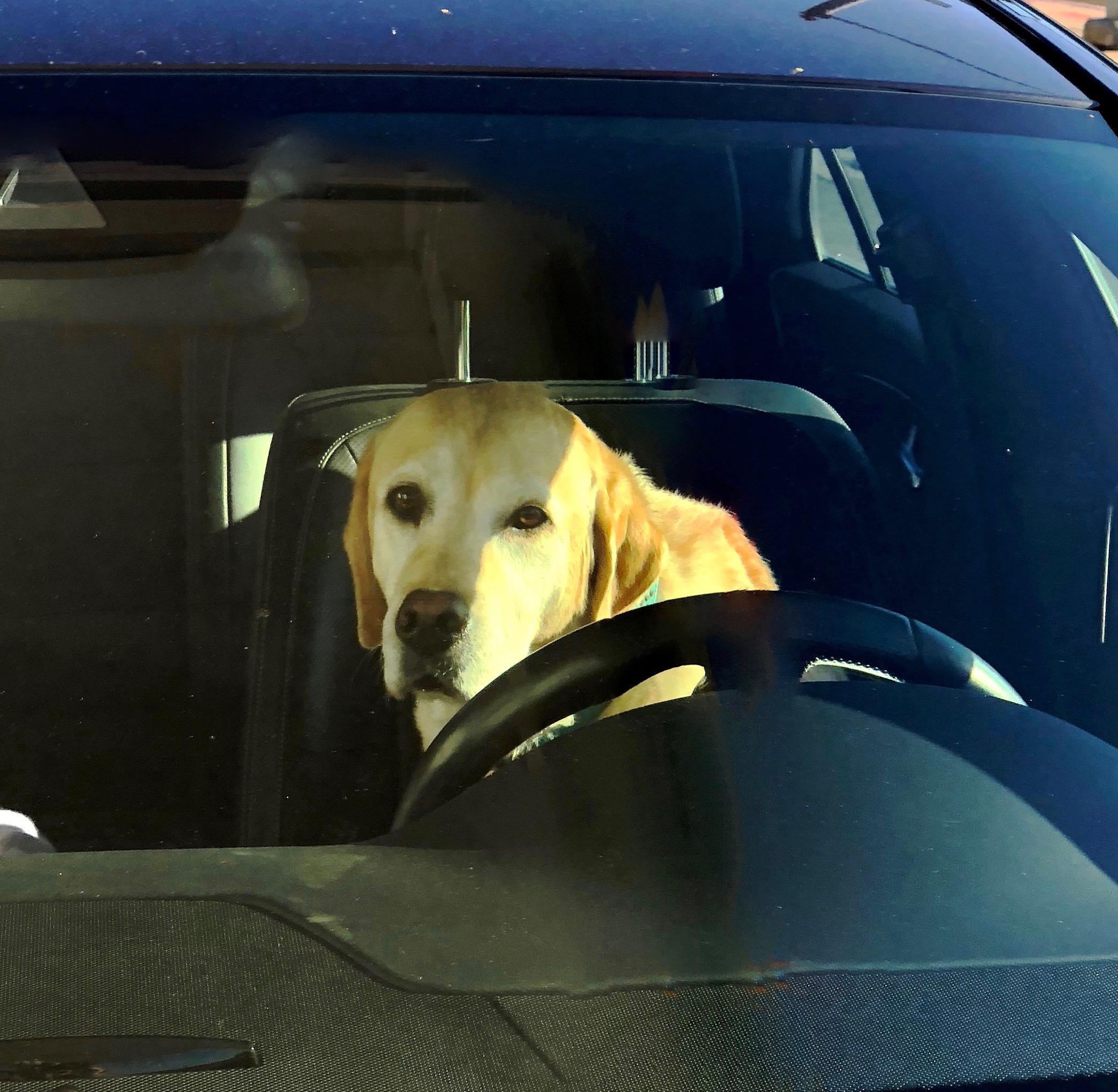 Car With Yellow Lab In The Driver's Seat