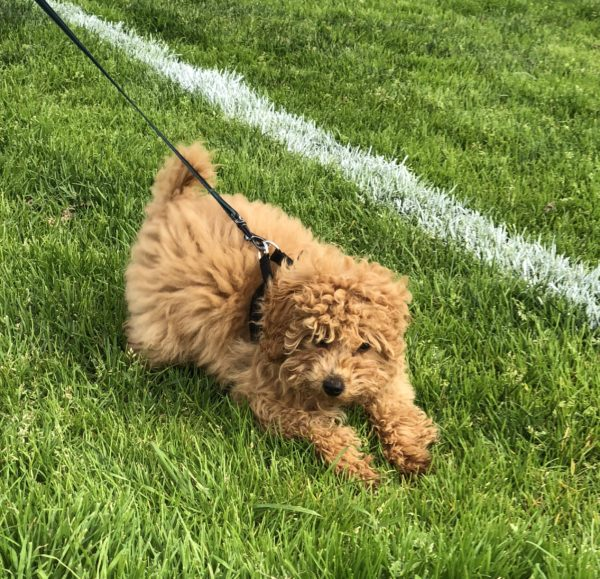 Sixteen-Week-Old Apricot Poodle Puppy Running In The Grass
