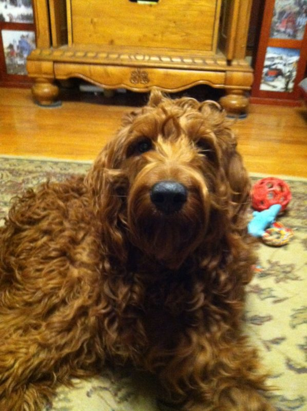 Conor The Irish Setter Poodle Mix
