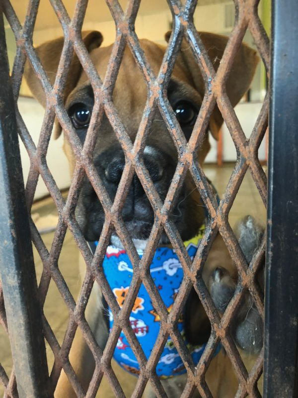 Boxer Puppy Looking Out Through Cage