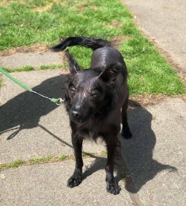Black Strange-Looking Mexican Hairless Border Collie Mix