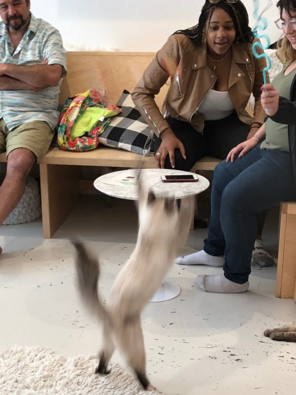 Himalayan Cat On Hind Legs Chasing Toy