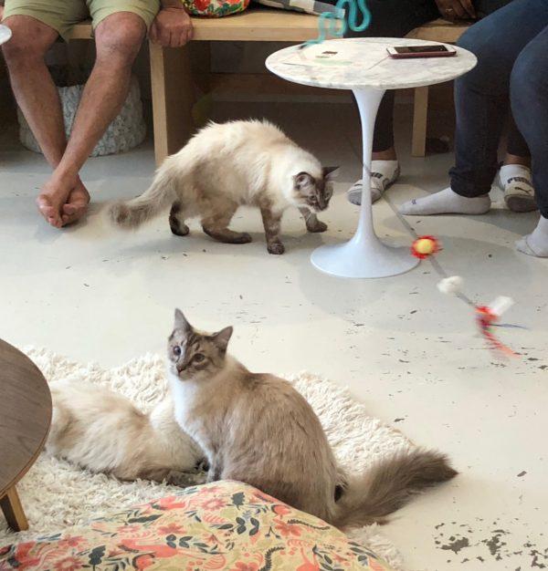 Two Himalayan Mix Cats