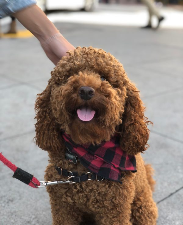 Brown Poodle Wearing Red And Black Plaid Scarf
